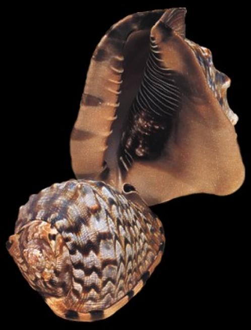 Cassis Tuberosa/King Helmet (EA)