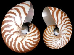 Natural Nautilus (EA-Whole)