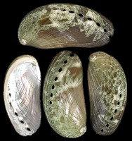 Green Abalone (hun)