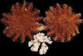 Thorn Starfish (EA)