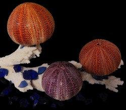 English Channel Sea Urchins (EA)