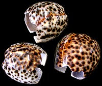 Tiger Cowrie Napkin Rings (DZ)
