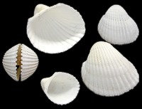 White Cup Shell (kilo)