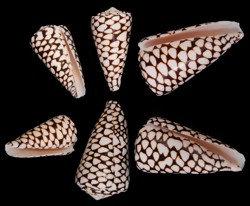 Conus Marmoreus (EA)
