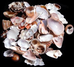 Assorted Side Cut Shells (kilo)