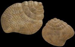 2 Pc Capiz Snail Set