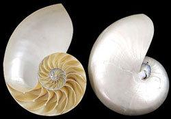 Pearl Nautilus Center Cut (pair)