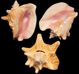 Pink Conch Slit Back (EA)