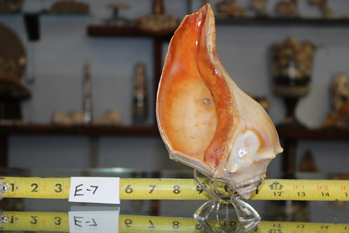 Conch/Whelk Shell