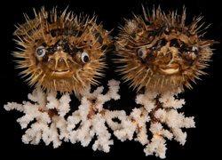 Porcupine Fish (EA)