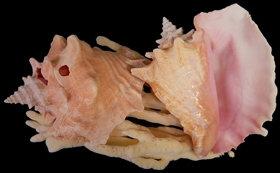 Slit Back Garden Pink Conchs (EA)