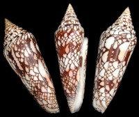 Conus Milneedwardsi (EA)