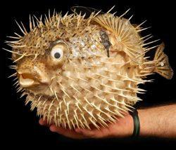 Giant Porcupine Fish