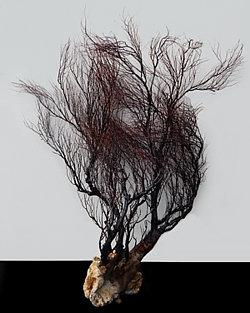 Rare Black Coral Tree