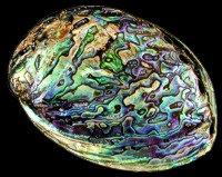 Paua Abalone Polished