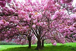 AdobeStock_165319914-cerisier_0.jpg