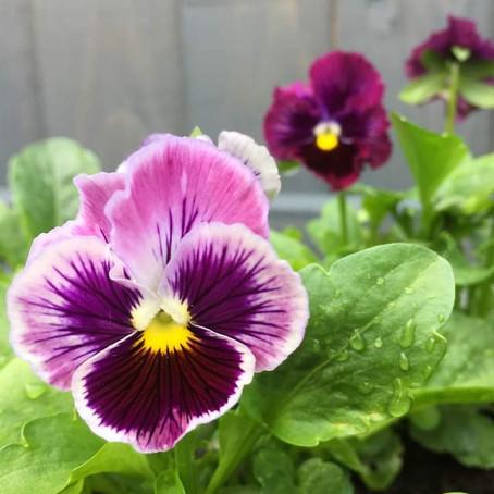 Edible Violas 💖