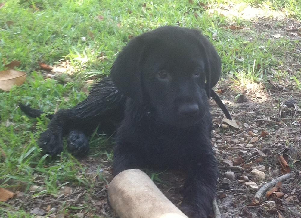 Labrador Retriever Obedience Training