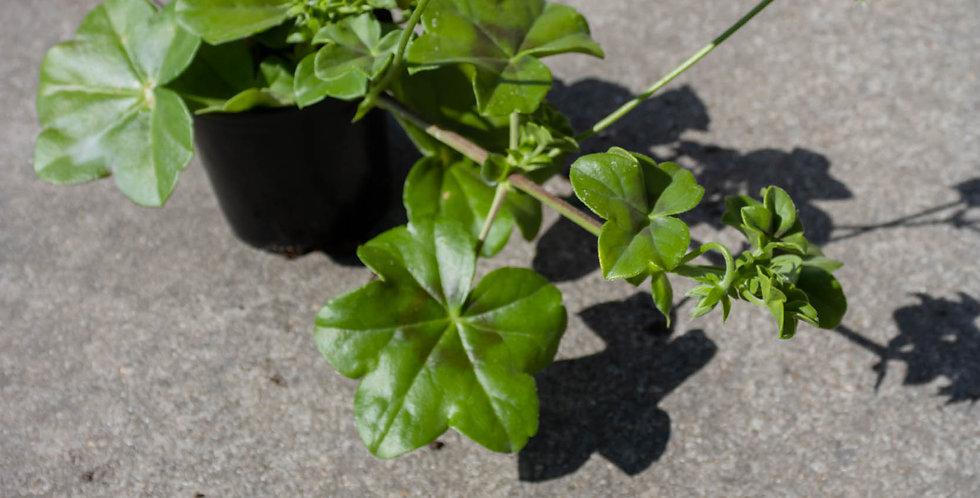 Geranium enkelvoudig (hangend)