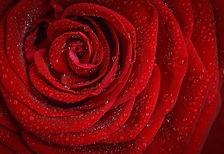 rose-1642970_1920.jpg