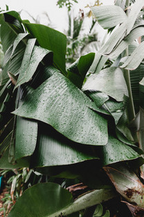 Leafs of Banana Plants