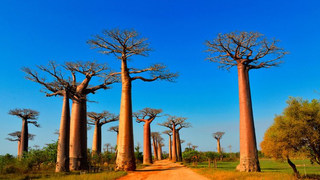 allee-baobabs-morondava.JPG