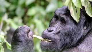 gorillas of uganda.JPG