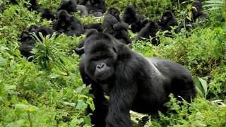 gorillas-in-rwanda (1).JPG