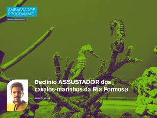 Declínio ASSUSTADOR dos cavalos-marinhos da Ria Formosa