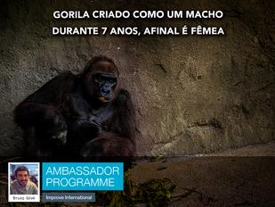 Gorilha criado como macho durante 7 anos, afinal é fêmea