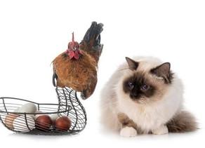 Gatos e Galinhas - Minuto de Sabedoria