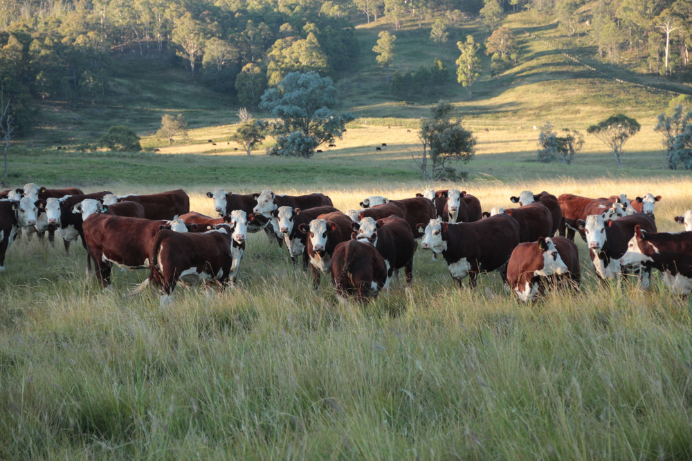 Australian Hereford Cows