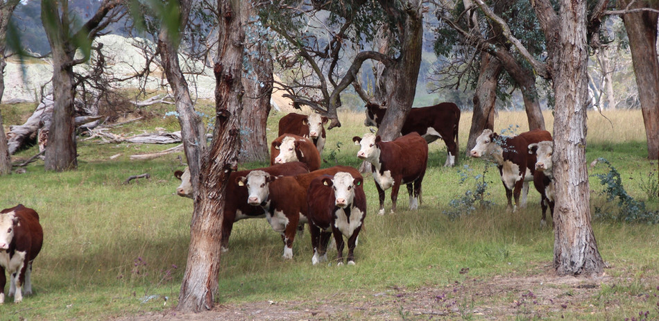 Hereford Cows in Australia