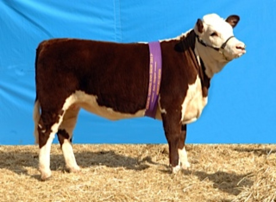 2011 Junior Champion Heifer - EKKA
