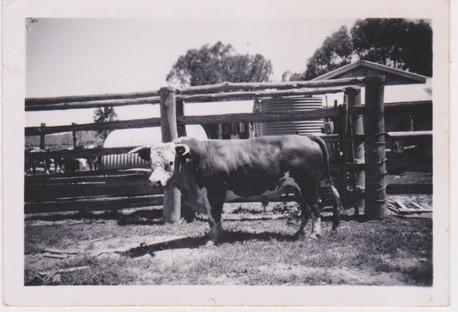 Dutton bull 'Ron' 1950's