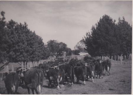 Cattle in lane 1964