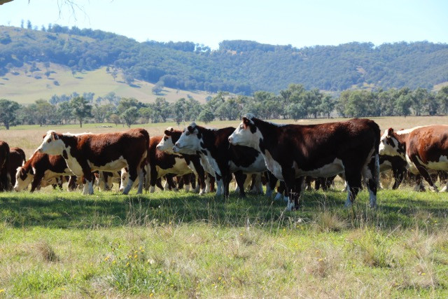 Australian Hereford Cows