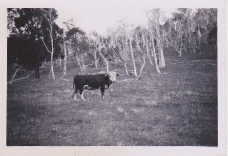 Golf Hill bull 1950-52