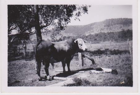 Jack Kilner bull 1956