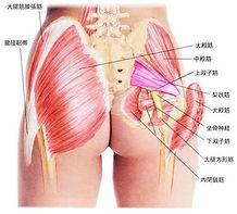 臀部筋肉.jpg