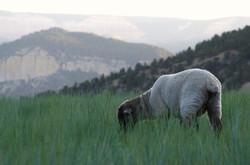 A lamb feeding in a nearby meadow.