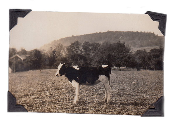 dairy farm cow history