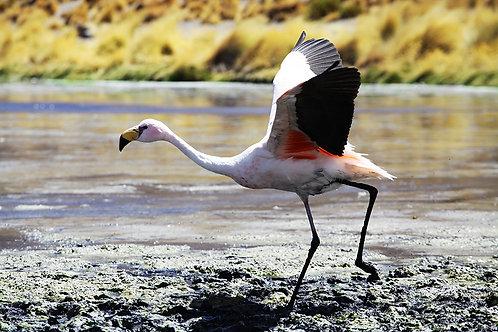 Uma grande quantidade de Flamingos habita a região dos lagos andinos no altiplano boliviano