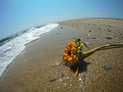 beached+sunflower