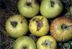 Polyphagous pest, primarily apple, pear, apricot and peach