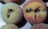 Jest to szkodnik polifag, w pierwszym rzędzie zasiedla jabłonie, grusze, pigwy, morele i brzoskwinie, nektarynki, czereśnie, wiśnie, śliwy, renklody i jabłka migdałowe.
