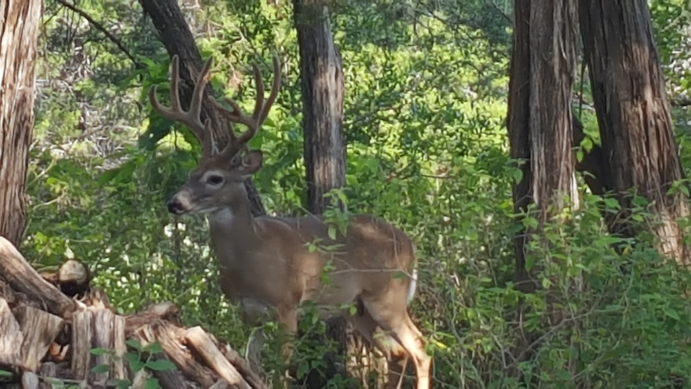 whitetail, big buck, deer hunting