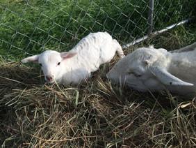 Baby Lamb just born