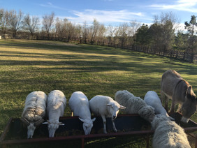 All the Sheepies at Feed Time