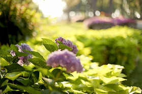 Hydrangea at Front Entrance
